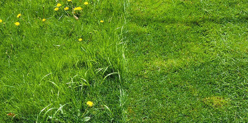 Close up view of half cut grass and half uncut grass with yellow dandelions
